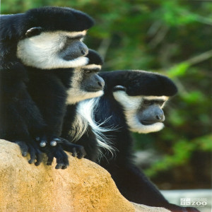 Colobus Monkeys Look Right