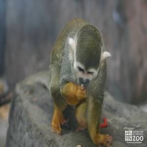 Common Squirrel Monkey 2