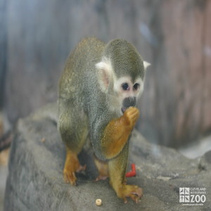 Common Squirrel Monkey 4