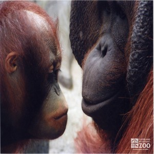 Orangutan and Infant Face to Face