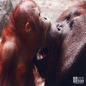 Orangutan and Infant