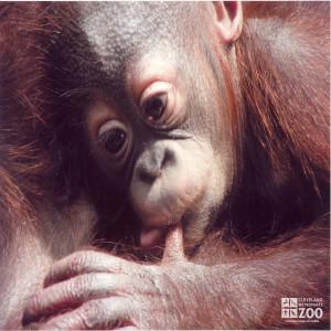 Infant Orangutan and Thumb