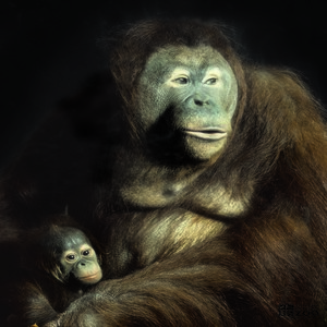 Orangutan and Infant Dark Background