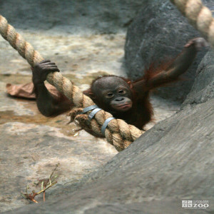 Orangutan on Ropes 2