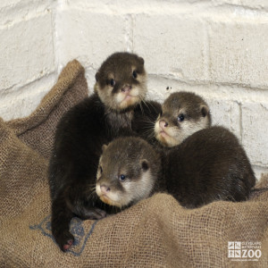 Oriental Small-Clawed Otter Babies