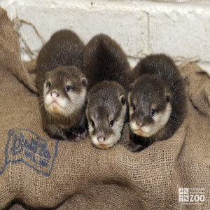 Oriental Small-Clawed Otter Babies in a Line
