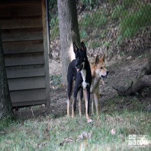 Dingos in Exhibit