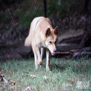 Dingo Walking