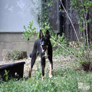 Dingo Looks Ahead