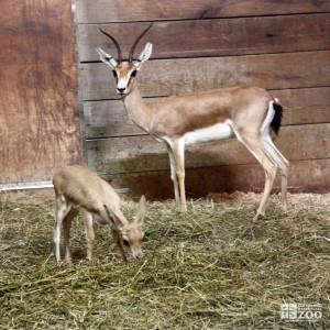 Slender-Horned Gazelle and Infant