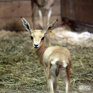 Slender-Horned Gazelle Infant