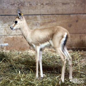 Slender-Horned Gazelle Infant Profile