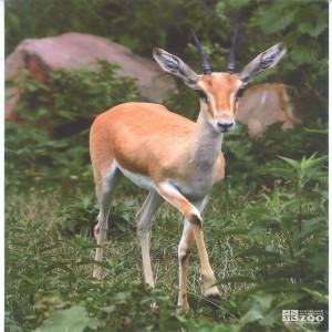Slender-Horned Gazelle Walks Forward