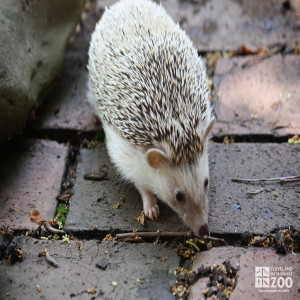 African Hedgehog on Bricks 2