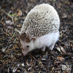 African Hedgehog 2