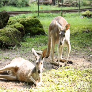 Western Grey Kangaroos Look Ahead