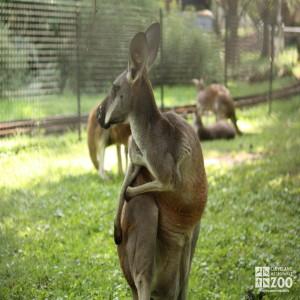 Western Grey Kangaroo 2