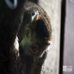 Crowned Lemur Looks Down