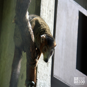 Crowned Lemur on Branch