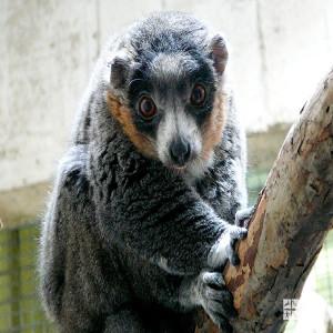Mongoose Lemur on Branch
