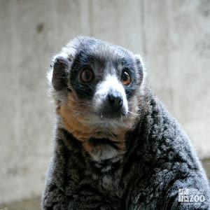 Mongoose Lemur Looks Ahead 2