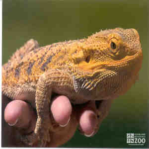 Bearded Dragon in Hand