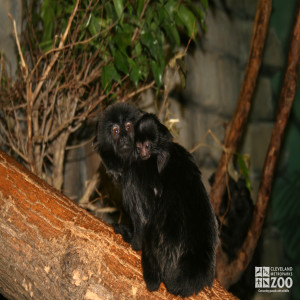 Goeldi's Monkey with Baby