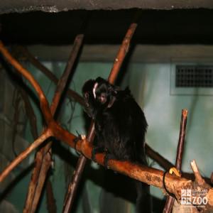 Goeldi's Monkey with Baby 2