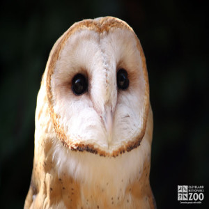 Barn Owl Looks Ahead