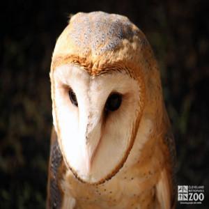 Barn Owl Looks Down
