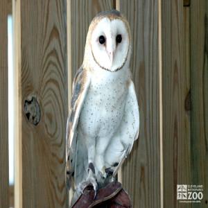 Barn Owl on Glove