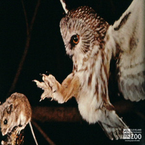 Barred Owl and Mouse