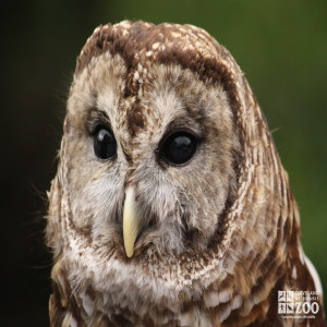 Barred Owl Close Up