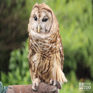 Barred Owl on Perch 2