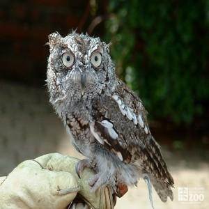 Eastern Screech Owl on Glove