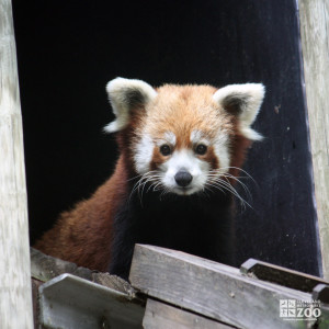 Red Panda Looks From Exhibit