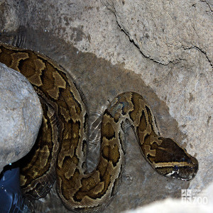 African Rock Python in Water 2