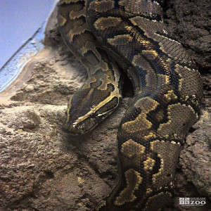 African Rock Python on Rock