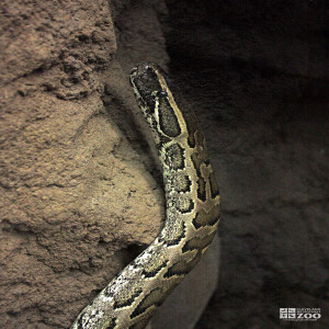 African Rock Python Looks Up