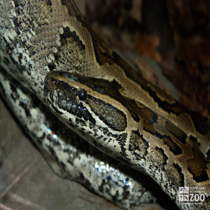 African Rock Python Close Up