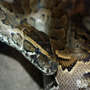 African Rock Python Looks Forward