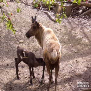 Reindeer and Baby