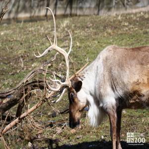 Reindeer Rubs Antlers