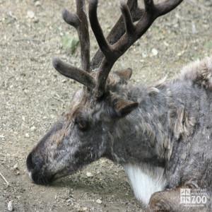 Reindeer Lying Down