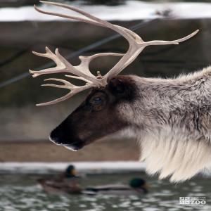 Reindeer Head Close Up