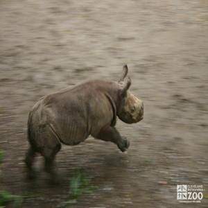 Rhino Calf Running