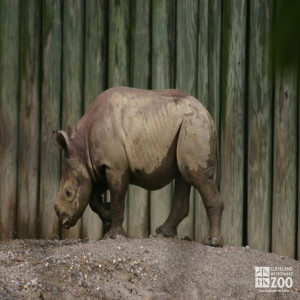 Rhino Calf Profile