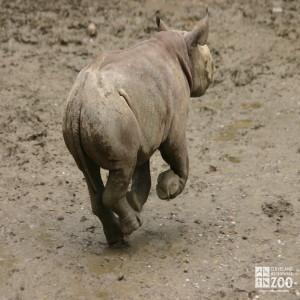 Rhino Calf Running 2