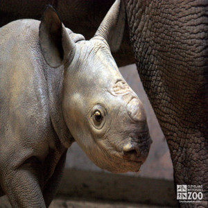 Rhino Calf with Adult Close Up