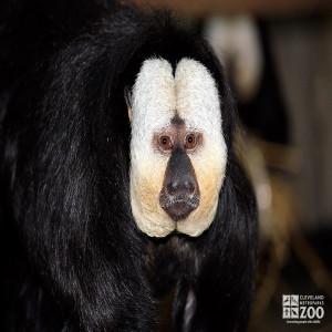 Pale-Headed Saki Monkey Close Up